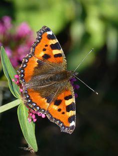 Small Tortoiseshell -  Cornwall Coast Path 12-Sept-2013 Most Beautiful Butterfly, Cornwall Coast, British Wildlife, True Nature, Summer Garden, Tortoise Shell, Needle Felting, I Tattoo, Moth