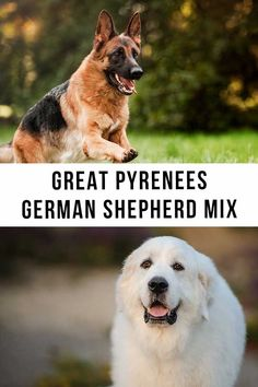 great pyrenees german shepherd mix Great Pyrenees Dog, Guard Dog, Happy Puppy, Puppy Care, German Shepherd Puppies, Mixed Breed, Large Dogs, Dog Breeds, Articles
