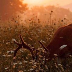 Deer at sunrise in Cades Cove, Tennessee! #Smoky #Mountains #National #Park #Smokies #Tennessee #vacation #wildlife