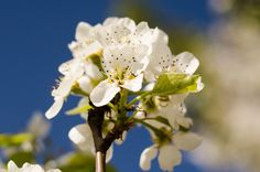 Pear blossom by Pricope Marian on Pear Blossom, Sky, Spring, Plants, Blue, Beautiful, Heaven, Heavens, Plant