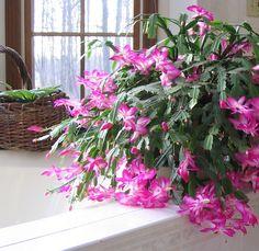 A Christmas Cactus Under Skylight! Flowering Plants, Planting Flowers, Christmas Cactus, Merry Christmas, Flowers Nature, Beautiful Flowers, Easter Cactus, Plants Indoor, Skylight