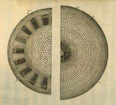 plate from Anatomy of Plants, by Nehemiah Grew, 1680