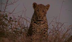 #SafariLive  Those eyes - Sindile   #Leopard #Cat