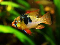 Dwarf Butterfly Cichlid (For Classic South American Community Aquarium)