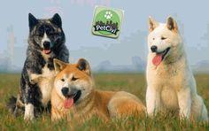 Raza AKITA, descubre más sobre tu mascota en nuestra wiki especializada. (Próximamente disponible) www.petcivi.com/