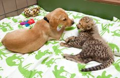 Just a month after Busch Gardens took in a cheetah cub whose mother wasn't caring for it, the park's animal care team has identified the perfect four-legged friend for the cat: a old female yellow Labrador puppy. Dog Best Friend, Dog Friends, Animals Beautiful, Cute Animals, Pretty Animals, Beautiful Cats, Baby Animals, Baby Cheetahs, Cheetah Cubs