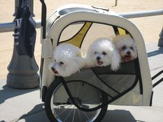 Look I found a new way to exercise my 3 Bichons (not pictured yet have to buy one first)