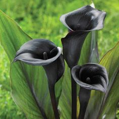 Latest Photographs black Calla Lily Tips Calla lilies are classified as the superior vase flower. The bulbs with this African flower are usua Calla Lily Flowers, Dark Flowers, Unusual Flowers, Calla Lillies, Beautiful Flowers, Black Calla Lily, Lilies, Flowers Perennials, Planting Flowers