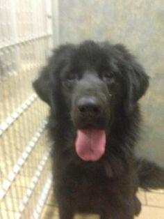 Chyna - Tibetan Mastiff Rescue, Inc.