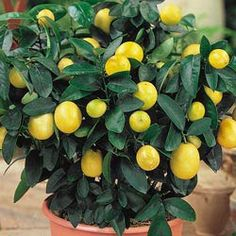Dwarf Meyer Lemon Tree  Handsome addition to any household! Dark evergreen foliage combines with fragrant, white blooms and tasty, bright yellow fruits. Grows up to 2 ft. Zones 9-10.