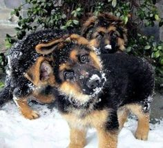 does it get any cuter than German Shepherd puppies