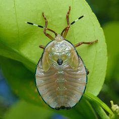 Bronze orange bug, Musgraveia sulciventris     (Family Tessaratomidae)