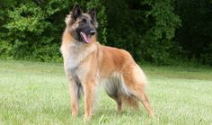 The Belgian Tervuren was bred in Belgium and was originally used for grazing sheep and as a watchdog. The Belgian Tervuren is one of the four breeds of Belgian Shepherd, Shepherd Dog, Belgian Tervuren, Group Of Dogs, Dog Information, Schaefer, Herding Dogs, Different Dogs, Dog Park