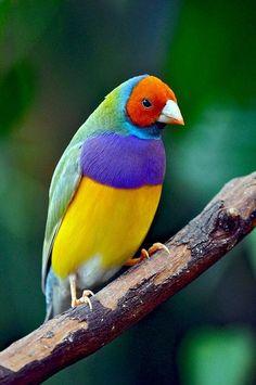 our-amazing-world:  Rainbow finch Amazing World beautiful...