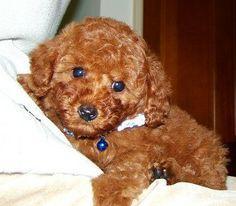 Teddy Bear dog! Cute cute cute!
