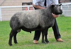 Blue Texel Sheep Society  ram