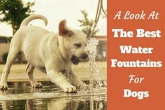 A look at the best water fountain for dogs written beside a yellowhttp://www.labradortraininghq.com/ labrador puppy drinking from a fountain