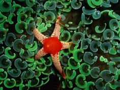 A necklace sea star nestles among the C-shaped emerald tentacles of anchor coral in the western Pacific Ocean.