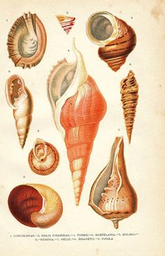 Conchology is a thing!?!?! 1920 Mollusks Print Conchs Marine Gastropods #conchology #shells #seashells