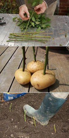 Diy: Rose cuttings and grow roses in potatoes..: