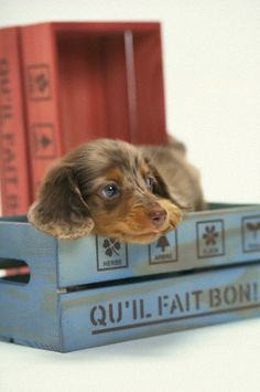 (KO) A puppy in a box which has words in French written on it. (KO) A puppy in a box which has words in French written on it. Furry ears and a cute nose are on the pup. I wonder if he woofs in French? He's definitely Bon! Dachshund Funny, Dachshund Puppies, Weenie Dogs, Dachshund Love, Cute Puppies, Cute Dogs, Doggies, Daschund, Love My Dog