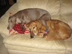silly greyhounds, they take no room at all! I think one is a lab and one a wimerimer.