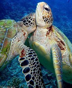 Hawaiian green sea turtles.