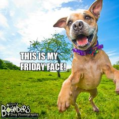 Time to get our weekend on!! :D  Who else is feeling like this right now?? www.bounders.co.uk/ Dog Photography, Photo Sessions, Funny Dogs, Pitbulls, Feelings, Face, Animals, Animales, Pit Bulls