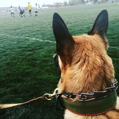 One of our, by commission only, @horweenleather #horweenessex lined rigid collars spotted out in the wild. Thank you @bettertogether_k9 and @thirdeye_k9 for doing what you do. You guys are truly changing the game! (No pun intended since your dogs watching a game . . ) ・・・ GAME TIME! Watching one of Gunner man's forever boys rock it at his #soccer #game here in #SLC with his #beautiful Momma @joyjoyllc ...always love when #socialization #training opportunities and being #outside coincide…