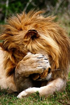 Lion Facepalm #lions, #animals, #pinsland, https://apps.facebook.com/yangutu/