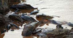 Restaurar natureza tomada por lama é impossível; rio Doce pode desaparecer - Os danos ambientais causados pela passagem da enxurrada de lama, provocada pelo rompimento de barragens da Samarco em Mariana (MG), foram drásticos, devem ...