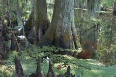Louisiana Swamps are exceptionally