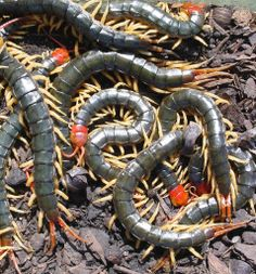 Biting poisonous centipedes, the only reason I dont want to move to Maui!!!!
