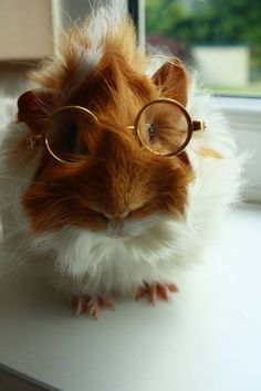 Guinea pig wearing glasses