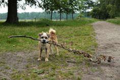 Dutch Dog with a Branch Photograph ~ A small dog holding a big branch in her mouth, in Beerschoten Park located in the town of De Bilt, Utrecht, Netherlands. Beerschoten was designed in the English style.   www.ronablack.com