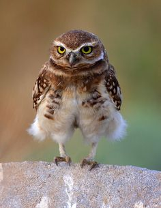 Nice Shorts - Burrowing Owl by KJ Thurgood