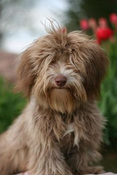 chocolate havanese - Google Search