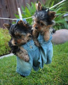 Yorkie pups hanging out to dry Animals And Pets, Baby Animals, Funny Animals, Cute Animals, Cute Puppies, Cute Dogs, Dogs And Puppies, Yorkies, Morkie Puppies