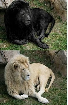 Photoshop Lions. Black Lions only exist in a person's mind. There aren't any black lions who truly exist.