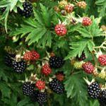 Braam 'Thornless Evergreen' Sterk groeiend ras zonder doornen, geurende bloemen, ronde zoete vruchten vanaf juli. Vroeg ras. Heeft prachtig fijn, donkergroen blad. Dit blad blijft het hele jaar mooi groen, alleen bij sterke vorst kan het dat het blad een beetje bruin kleurt. Toch een prachtige groenblijvende klimplant! De kwaliteit van de vruchten is redelijk tot goed. Geeft erg makkelijk vruchten. Pluktijd: Juli, Augustus Vruchtkleur: Zwart Smaak: Zoet, Aromatisch Zelfbestuivend
