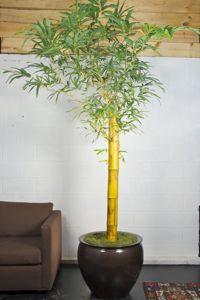 Houston's online indoor plant & pot store   /Bambusa Vulgaris or Indoor Bamboo