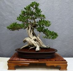 ♥♥Your #bonsai inspiration for the day!֍♣       #BonsaiInspiration