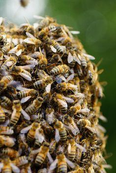 swarming honeybees- Applegarth Farm