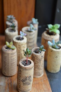 Ten varied succulents dwell in their snug wine corks :) They are easy to care for, and make great token gifts and party favors. Each of these babies was grown by me and is fully rooted in its cork. No cuttings, and they will not fall out!