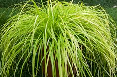 "Carex oshimensis 'Everillo' is an evergreen mounding fountain of lime green leaves that turn to gold. Weeps gracefully over a slope. Does best in part shade/shade. 20"" H x W."