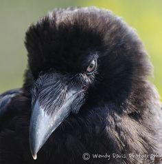 Your daily (baby) raven via Wendy Davis Photography FB