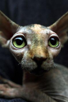 """<b>Porque los gatos fueron hechos para romper el internet.</b> Vía <a href=""""http://www.animalplanet.com/tv-shows/cats-101/"""" target=""""_blank""""><i>Cats 101</i>.</a>"""