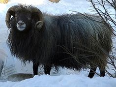 The Icelandic breed is one of the hardiest sheep of Northern Europe and exhibit a dual coat of wool to protect it from the harsh winters. The Icelandic sheep is one of the world's oldest and purest breeds of sheep. Throughout its 1100 years of history, the Icelandic breed has been truly triple-purpose, treasured for its meat, fiber and milk.