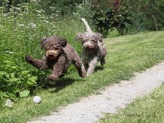 Duchess Kate & Marco Polo love playing with balls.  They are Lagotto Romagnolo dogs. This is the only breed of dog that is officially recognized as specialized in truffle hunting.  + in comments   All you need to know about bad breath (tips, remedies, symptoms and more) : http://cosmosale.com/badbreath