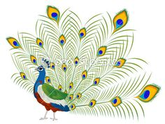 A simple peacock with feathers standing tall